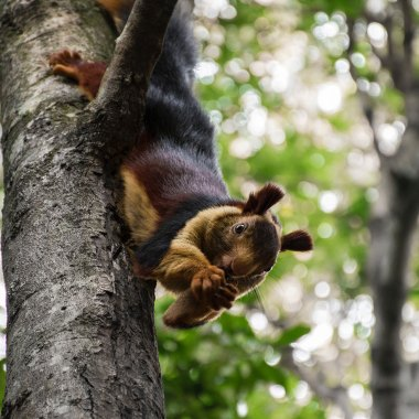 Indian-Giant-Squirrel