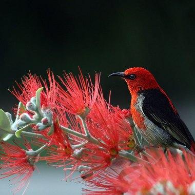 Australasia Birding