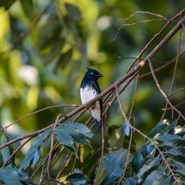 Black-and-white-Shrike-flycatcher-02