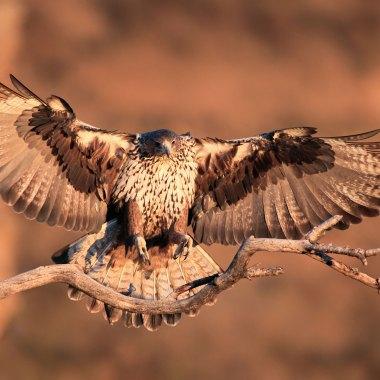 Bonelli's-Eagle