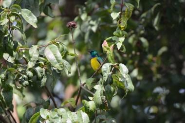 Collared-Sunbird.-Bwindi.-Ruhija-Sector