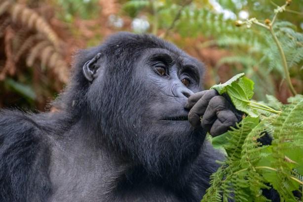 Gorillias--Bwindi.-Ruhija-Sector
