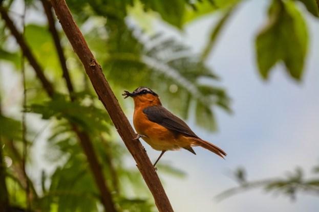 Grey-winged-Robin-Chat.-Bwindi.-Buhoma-Sector