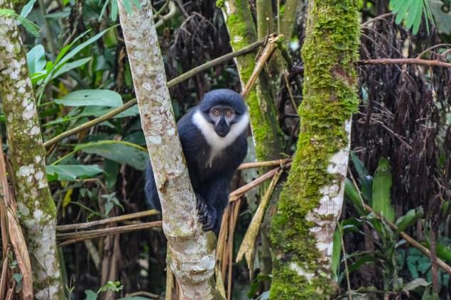 L'Hoest's-Monkey.-Bwindi.-Buhoma-Sector