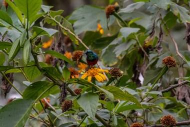 Northern-Double-collared-Sunbird.-Bwindi.-Buhoma-Sector