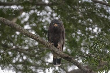 Western-Banded-Sanke-eagle.--Murchison
