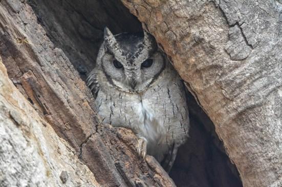 Indian-Scops-Owl