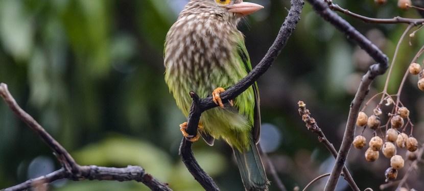 Northern India Birding trip report