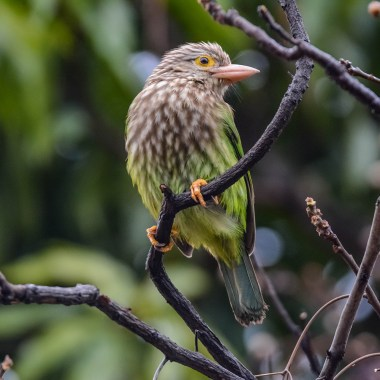 Lineated-Barbet--02