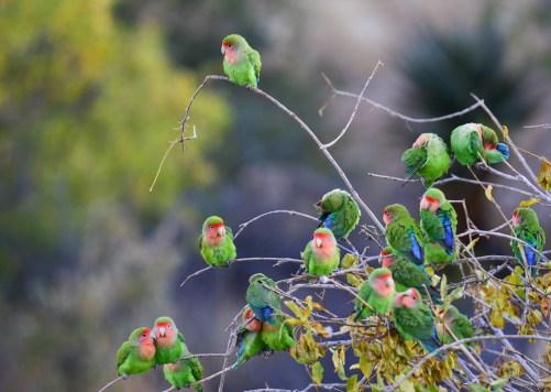 Rosy-faced-Lovebirds