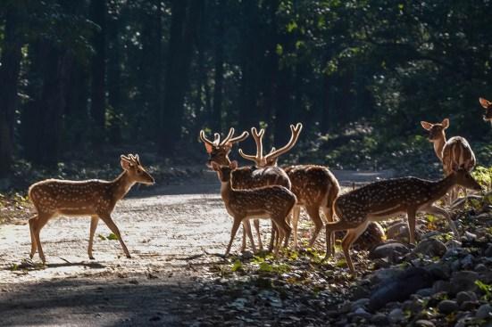 Spotted-Deer-04