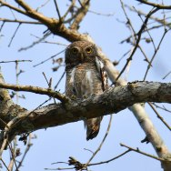 Asian-Barred-Owlet