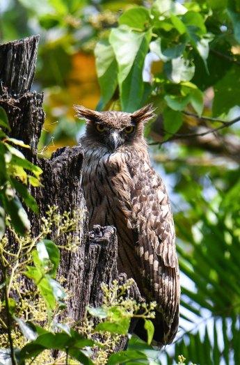 Brown-Fish-Owl