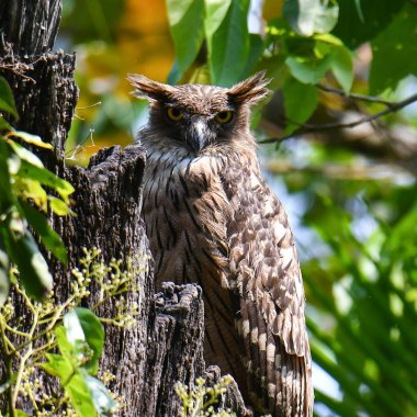 Brown-Fish-Owl