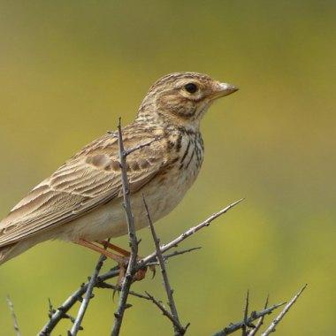 Morocco Birding