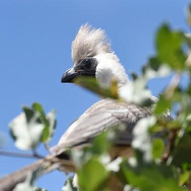 BARE-FACED-GO-AWAY-BIRD