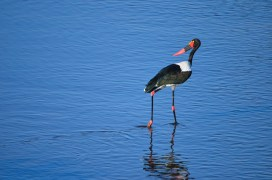 Saddle-billed Stork (1)