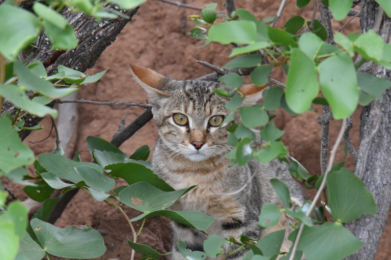 Secret 7 - Southern African Wildcat.JPG