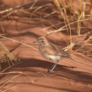 Namibia Endemics (3)