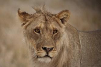 Etosha - Lion (1)