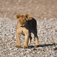 Etosha - Lion (2)