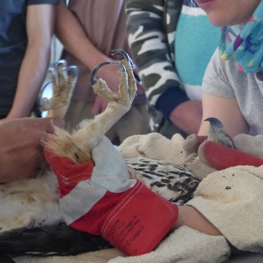 Raptor rehabilitation at REST