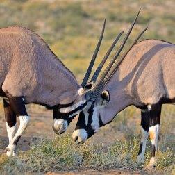 Gemsbok-sparring-in-Etosha