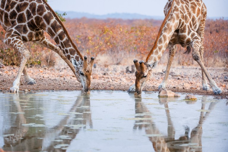 Giraffe drinking - ongava-2