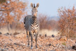 Hartmanns mnt zebra - ongava-2