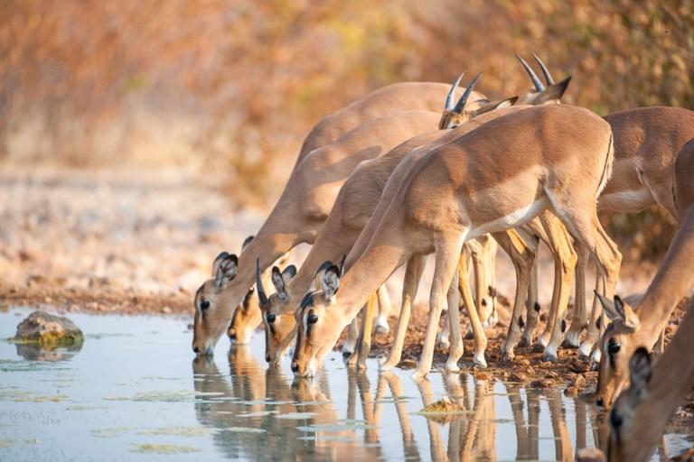black-faced impala - ongava