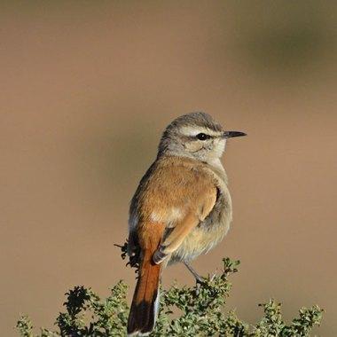 Kalahari-Scrub-Robin-in-Daan-Viljoen