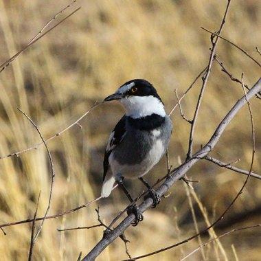 White-tailed-Shrike-in-a-Windhoek-suburban-garden