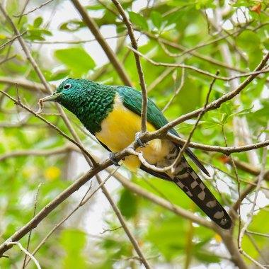 African-Emerald-Cuckoo-in-Livingstone