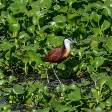 African-Jacana-at-Livingstone-sewage-works