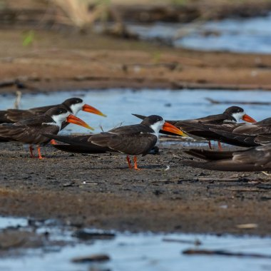 African-Skimmers-in-the-Delta - Copy