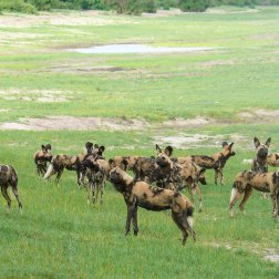 African-Wild-Dogs-in-Chobe
