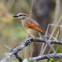 Brown-crowned-Tchagra-in-Waterberg-Plateau-NP