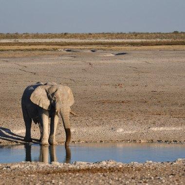 Etosha---African-Elephant