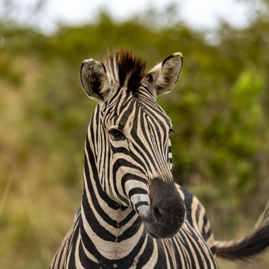Plains-Zebra-in-Chobe