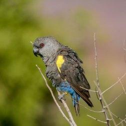Ruppell's-Parrot