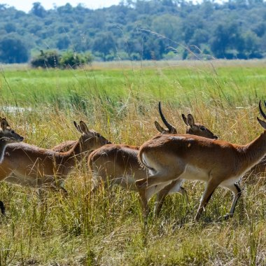 Southern-Lechwe-in-Mamili