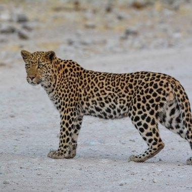 Leopard-in-Etosha