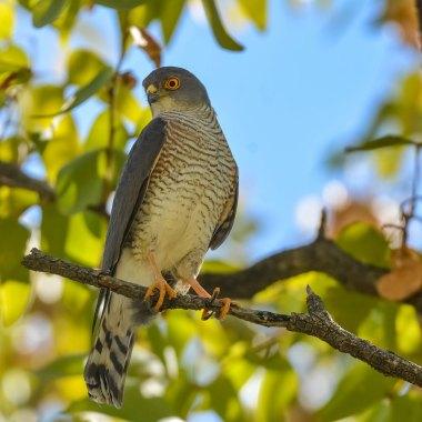 Little-Sparrowhawk-in-Mahango