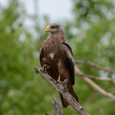 Yellow-billed-Kite-in-Mahango