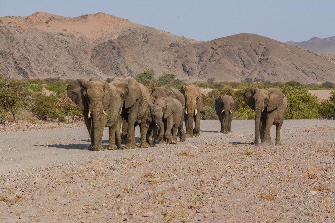 Desert-Adapted-Elephants