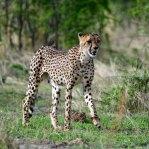 Cheetah-in-Etosha