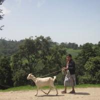 Goat Walking in Guatemala