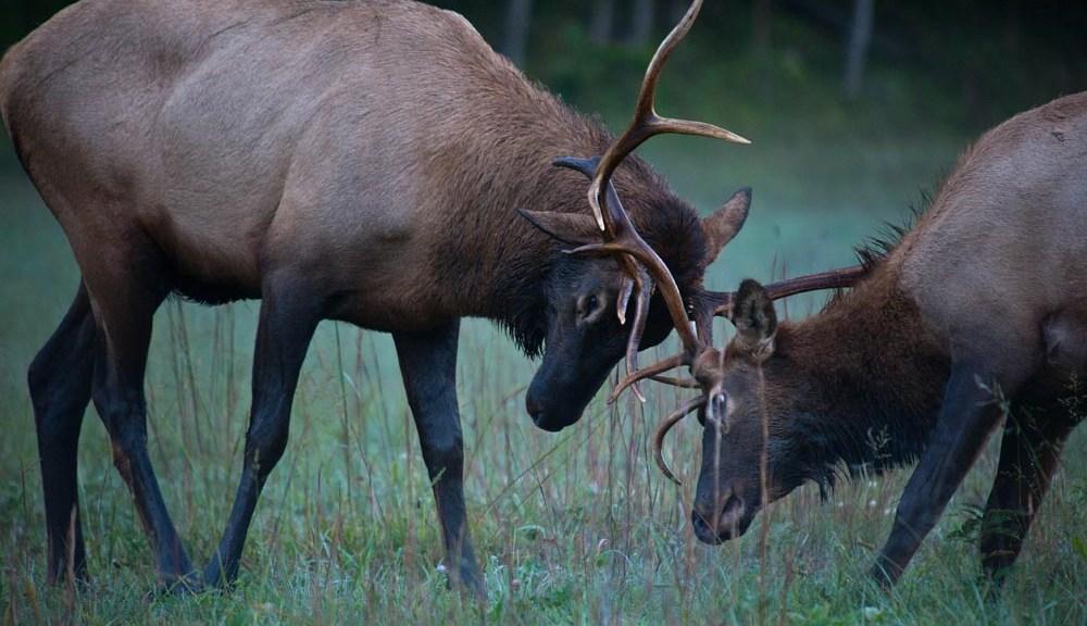 Sparing elk in Cataloochie Valley.