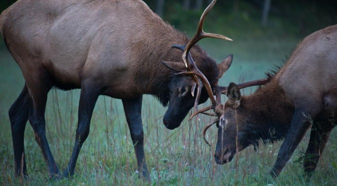 Sparing elk in Cataloochie Valley.