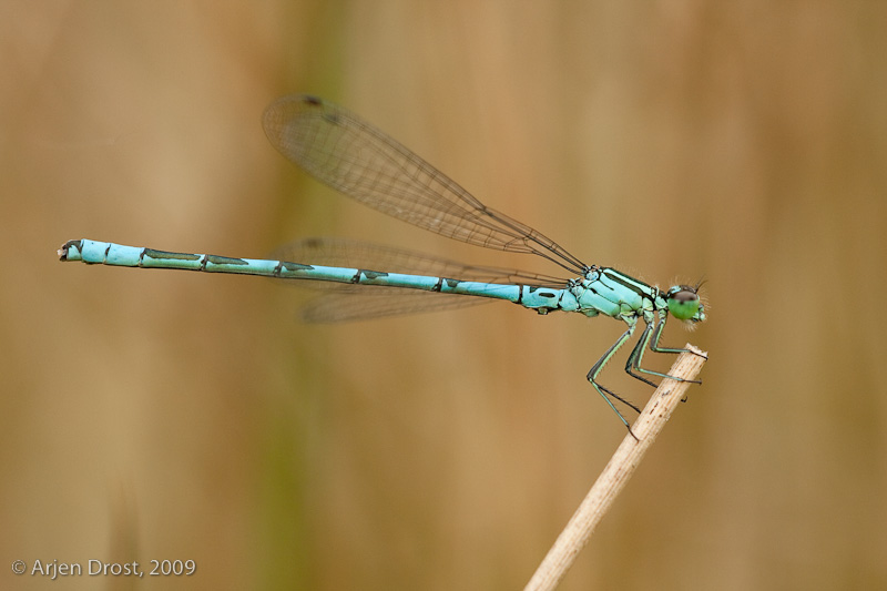 Spearhead Bluet - Speerwaterjuffer - Coenagrion hastulatum